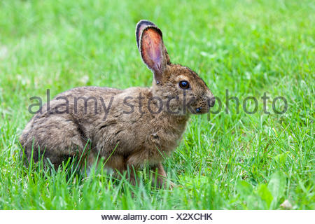 Snowshoe hare (Lepus americanus) with ticks on its face in Kouchibouguac National Park, New Brunswick, Canada