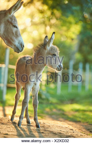 Domestic donkey (Equus asinus asinus), donkey foal standing by its mother, Germany - Stock Photo
