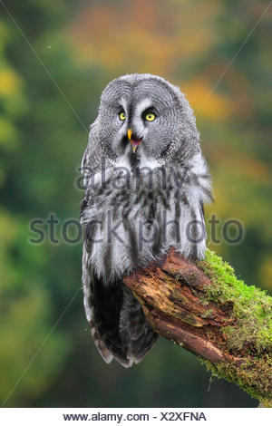 great grey owl (Strix nebulosa), sitting on a mossy lookout - Stock Photo