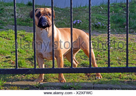 German Boxer (Canis lupus f. familiaris), Boxer guarding behind an iron gate, Germany - Stock Photo