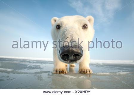 Polar bear (Ursus maritimus) curious young bear approaching camera, over newly forming pack ice during autumn freeze up, Beaufort Sea, off Arctic coast, Alaska - Stock Photo