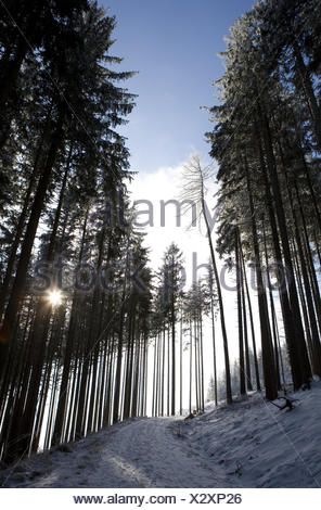 Winter wood, back light, wood, trees, conifers, forest way, way, forest road, snow-covered, snow, winter, season, exit, loneliness, nobody, the sun, the winter sun, - Stock Photo