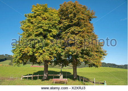 Two autumnal Large-leaved Lime trees (Tilia platyphyllos) with a bench and a crucifix, Engelhirsch, Oberallgäu, Allgäu - Stock Photo