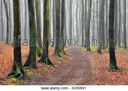 Beech forest, Jasmund National Park, Ruegen, Mecklenburg-Western Pomerania - Stock Photo