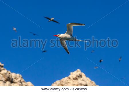 Red-billed tropic bird, Phaethon aethereus, in flight at San Pedro Martir Island. - Stock Photo