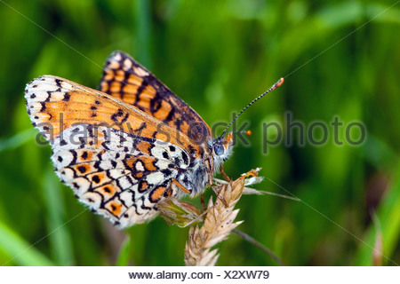 Glanville fritillary (Melitaea cinxia, Mellicta cinxia), sitting on a grass ear, Germany - Stock Photo
