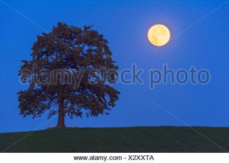 Vollmond im Halbschatten der Erde neben einem Baum, Deutschland, Bayern | single tree and full moon at night, Germany, Bavaria | - Stock Photo