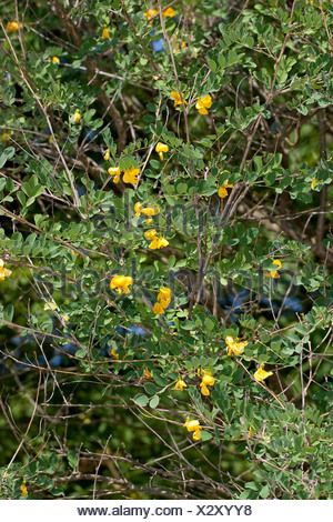 bladder senna, bladder-senna (Colutea arborescens), blooming, Germany - Stock Photo