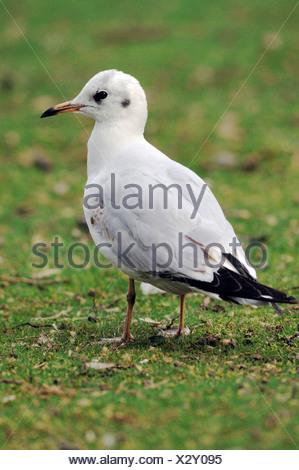 Black-headed Gull (Larus ridibundus) - Stock Photo