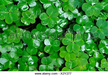 Clover leaves - Stock Photo