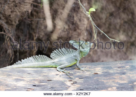 Costa Rica, Limón, Tortuguero, Tortuguero National Park, Basiliscus plumifrons, which is a large Central American style of basilisks - Stock Photo
