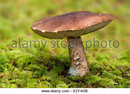 Birch bolete, Leccinum scabrum,  Beaver Lake Park, Victoria BC - Stock Photo