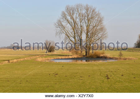 Grey Willow (Salix cinerea) at outer marches during a dry winter, no snow on the outer marches, The Netherlands, Overijssel, National Landscape IJsseldelta - Stock Photo