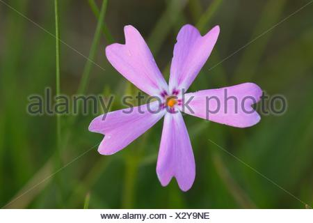 Wildflower, Illinois Wild and Scenic River, Siskiyou National Forest, Oregon. - Stock Photo