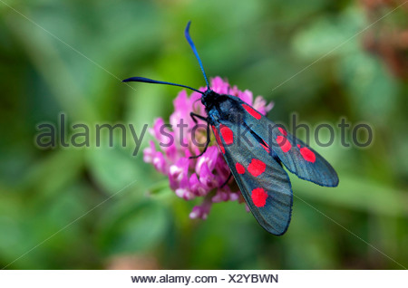 Close-up top view of Narrow-Burnet butterfly on flowers against blurred plants - Stock Photo
