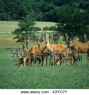 Young red deer stags fattening for venison on open pasture Sussex - Stock Photo
