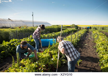 Farmers working in vegetable crop on sunny farm - Stock Photo