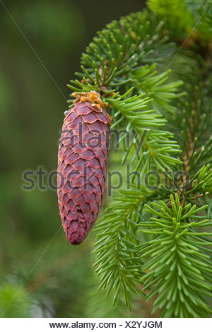 European spruce (Picea abies), young cones, Burgkwald forest near Karolinenfield, eastern Thuringia, Germany, Europe - Stock Photo