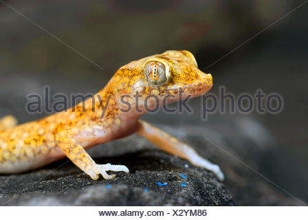 Lichtenstein's Short-fingered Gecko (Stenodactylus stenodactylus), on a stone - Stock Photo