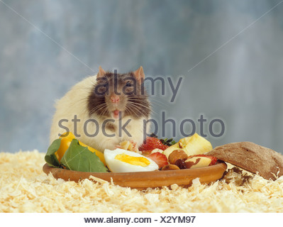 rat at feeding bowl / Rattus norvegicus - Stock Photo