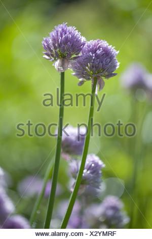 chives, allium schoenoprasum - Stock Photo