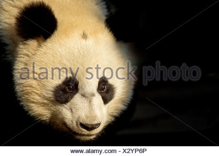 Giant Panda (Ailuropoda melanoleuca) sub adult in atmospheric light. Bifengxia, China. Captive. Crop - Stock Photo