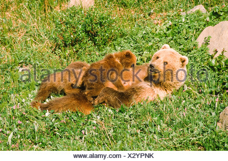 Alaska. Denali NP. Grizzly Bear (Ursus horribilis) with cubs suckling in meadow. - Stock Photo