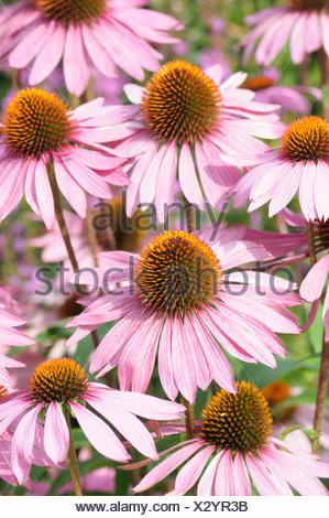 Purple coneflower, Echinacea, Echinacea purpurea 'Rubinglow', Beauty in Nature, Colour, Creative, Flower, Autumn Flowering, Summer Flowering, Frost hardy, Growing, Nature, Outdoor, Perennial, Plant, Spiky, Stamen, Pink, - Stock Photo