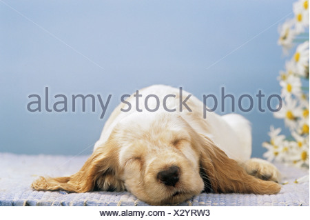 Cocker Spaniel puppy - sleeping - Stock Photo