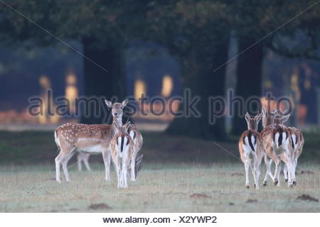 Small herd of Fallow Deer (Dama dama) does - Stock Photo