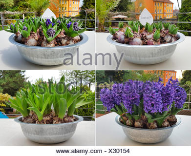 Jacinthe (Hyacinthus orientalis), four different stages of flowering in a flower bowl, Germany - Stock Photo