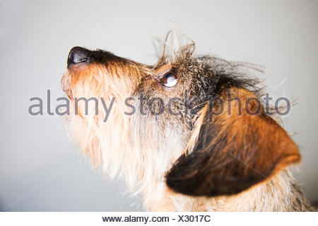 Portrait of wire-haired dachshund - Stock Photo