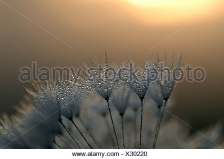 common dandelion (Taraxacum officinale), infructescence with morning dew in backlight of the rising sun, Germany, Bavaria - Stock Photo
