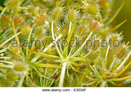 Wild carrot flower turning seeds, Daucus carota ssp. carota - Stock Photo