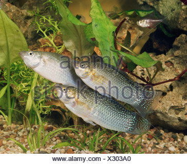 Giant Sailfin Molly - Stock Photo