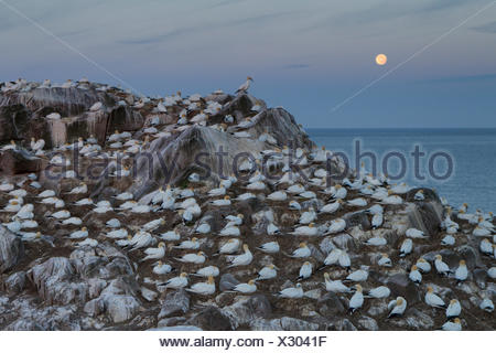 nocturnal scene in a colony of Northern Gannets (Morus bassanus) under a full moon - Stock Photo