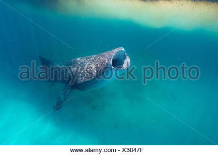 Whale shark feeding near Trichodesmium algae. - Stock Photo