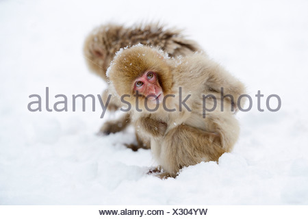 Young Japanese Macaque or Snow Monkey (Macaca fuscata), looking around in the snow, Affenpark Jigokudani, Nagano Präfektur - Stock Photo