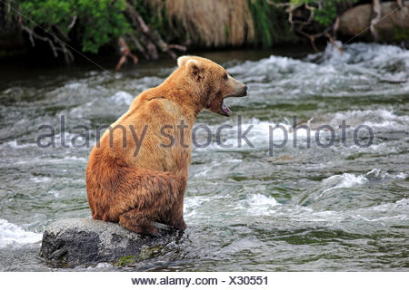 Grizzly Bear (Ursus arctos horribilis) adult, sitting on rock in the water, Brooks River, Katmai National Park and Preserve - Stock Photo