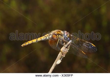 Scarlet Dragonfly, Crocothemis erythraea, female - Stock Photo