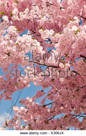 Berlin, Germany, blue budding cherry - Stock Photo