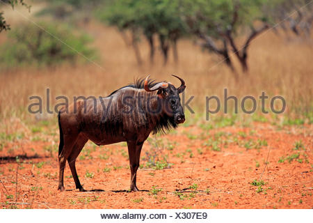 Blue Wildebeest, common wildebeest, white-bearded wildebeest, brindled gnu, adult, Tswalu Game Reserve, Kalahari, Northern Cape, South Africa, Africa / (Connochaetes taurinus) - Stock Photo