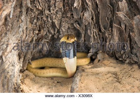Cape cobra, yellow cobra (Naja nivea), juvenile in defence posture, South Africa, Kalahari Gemsbok National Park - Stock Photo