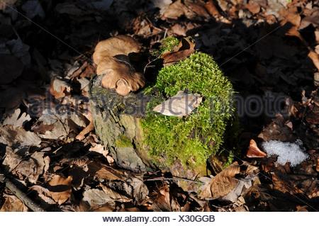 Treestump with mushrooms an moss - Stock Photo