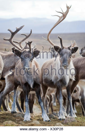 Sweden, Lapland, Levas, Herd of reindeer (Rangifer tarandus) in wild - Stock Photo