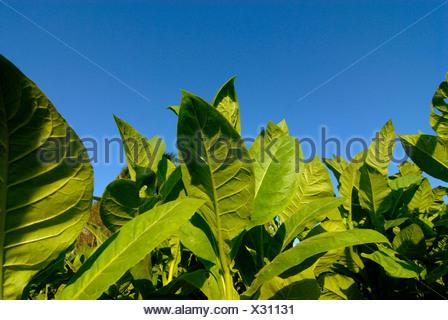 Tobacco leaves, tobacco field in Pinar del Rio, Cuba, Caribbean - Stock Photo