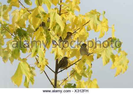Sparrows on a sycamore maple in autumn - Stock Photo
