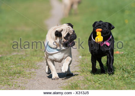 Pug. Two adults on a path, playing with a toy. Germany - Stock Photo