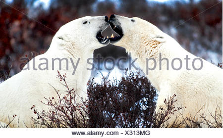 Two Male Polar Bears, Ursus Maritimus, Sparring, Churchill, Manitoba, Canada - Stock Photo