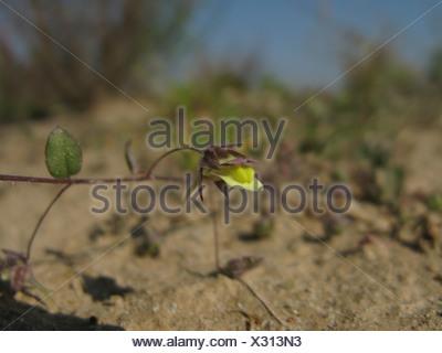 sharp-leaved fluellin, sharppoint fluvellin, sharp-point toadflax (Kickxia elatine), flower, Germany, North Rhine-Westphalia - Stock Photo